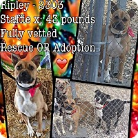 American Staffordshire Terrier Mix Dog for adoption in Charlotte, North Carolina - Ripley