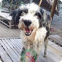 Adopt A Pet :: 'SUREE' - Agoura Hills, CA