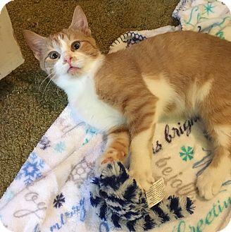 Domestic Shorthair Kitten for adoption in Butner, North Carolina - Chili