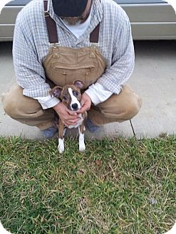 Boxer/Terrier (Unknown Type, Medium) Mix Puppy for adoption in Germantown, Maryland - Macy