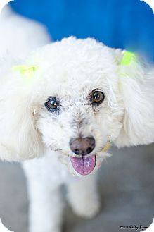 Poodle (Miniature) Dog for adoption in Studio City, California - Rosie