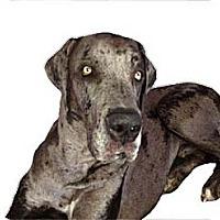 Adopt A Pet :: Duke - Mesa, AZ