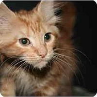 Adopt A Pet :: NATASHA - SILVER SPRING, MD