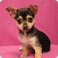Adopt A Pet :: Wiggles - Sacramento, CA