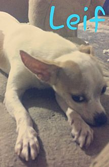 Chihuahua/Papillon Mix Dog for adoption in Pflugerville, Texas - Leif