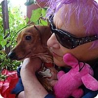Adopt A Pet :: BONNIE Boo Boo - Portland, OR