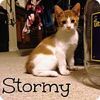 Adopt A Pet :: Stormy (Weather) - Bentonville, AR