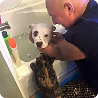 Adopt A Pet :: Tyson - Acushnet, MA