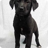 Adopt A Pet :: Donut - Westminster, CO