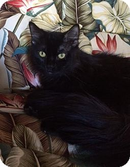 Domestic Mediumhair Cat for adoption in San Bernardino, California - Kumi