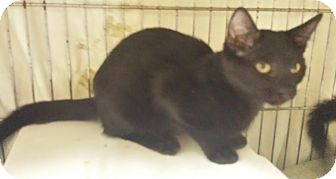 Domestic Shorthair Kitten for adoption in Holden, Missouri - Night Walker