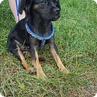 Adopt A Pet :: Bella - Huntsville, TN