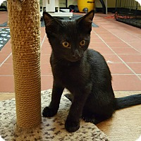 Bombay Kitten for adoption in Edgewater, New Jersey - Indigo