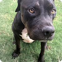 Adopt A Pet :: Harold - Gilbert, AZ