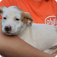 Australian Shepherd/Boxer Mix Puppy for adoption in Newark, Delaware - Winken