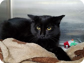 Domestic Shorthair Kitten for adoption in Elyria, Ohio - Bat Cat