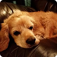 Cocker Spaniel Dog for adoption in La Verne, California - Abe