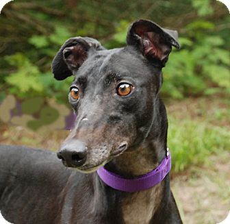 Greyhound Dog for adoption in Ware, Massachusetts - Ariat