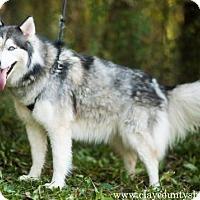 Siberian Husky Dog for adoption in Louisville, Illinois - Nikki (Nikita)
