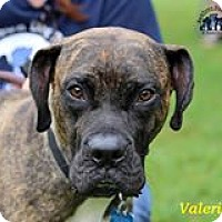 Boxer Mix Dog for adoption in Suwanee, Georgia - Valerie