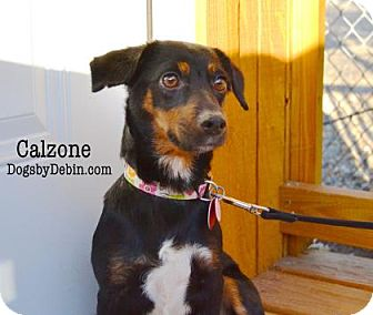 Dachshund Mix Dog for adoption in Kansas City, Missouri - Calzone