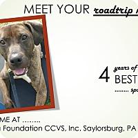 Pit Bull Terrier Mix Dog for adoption in Saylorsburg, Pennsylvania - Star
