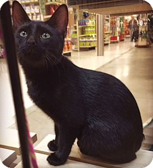 Domestic Shorthair Cat for adoption in Walled Lake, Michigan - Rex (Manx mix, No Tail)