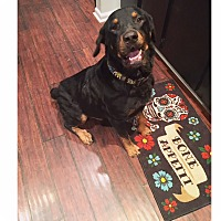 Rottweiler Mix Dog for adoption in Walker, Louisiana - Thor