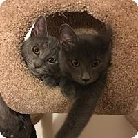 Adopt A Pet :: Callie - Rochester Hills, MI