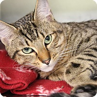 Domestic Shorthair Cat for adoption in Marietta, Ohio - Tucker (Neutered)