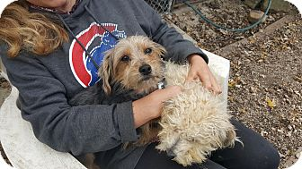 Silky Terrier Dog for adoption in Antioch, Illinois - Sam