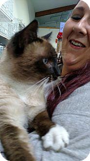 Siamese Cat for adoption in Yuba City, California - Otis