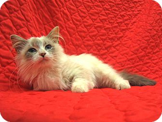 Siamese Cat for adoption in Redwood Falls, Minnesota - Holly