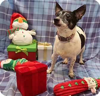 Rat Terrier Dog for adoption in Newtown, Connecticut - Purdy
