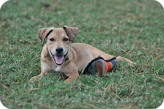 Labrador Retriever Mix Puppy for adoption in Tomball, Texas - Boris