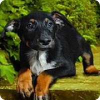 Shepherd (Unknown Type)/Australian Shepherd Mix Puppy for adoption in McKinney, Texas - Cash