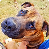 Boxer/Shepherd (Unknown Type) Mix Puppy for adoption in Kingston, Tennessee - Copper