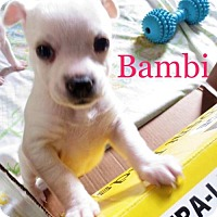 Adopt A Pet :: A Bambi 'Rose's pup' - Los Angeles, CA