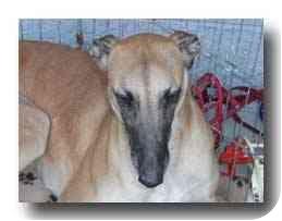Greyhound Dog for adoption in Roanoke, Virginia - Sugar