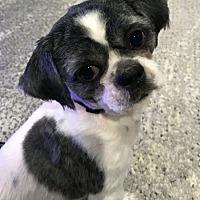 Adopt A Pet :: Oreo - Wantagh, NY