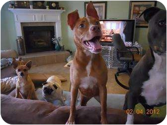 American Pit Bull Terrier Mix Dog for adoption in Killen, Alabama - Diamond- MISSING