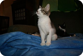 Domestic Shorthair Kitten for adoption in Trevose, Pennsylvania - Trinadad