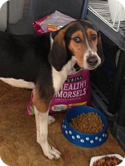 Treeing Walker Coonhound Dog for adoption in Schererville, Indiana - Mandy