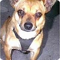 Adopt A Pet :: PJ - dewey, AZ