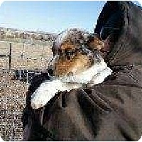 Adopt A Pet :: aussie pup 2 - Alliance, NE