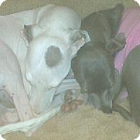 Adopt A Pet :: Bella - Croton, NY