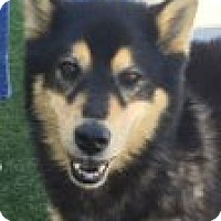 Shepherd (Unknown Type)/Husky Mix Dog for adoption in Las Vegas, Nevada - Shelly