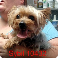 Adopt A Pet :: Sybil - baltimore, MD
