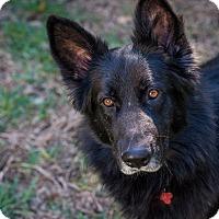 Adopt A Pet :: Bo - Austin, TX
