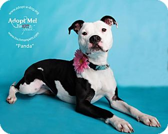 Pit Bull Terrier Mix Dog for adoption in Armonk, New York - Panda